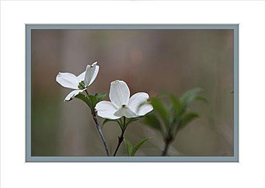 Premium Greeting Card, Dogwood White Flower
