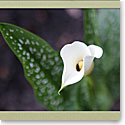 Premium Greeting Card, Calla Lilly