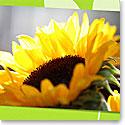 Premium Greeting Card, Sunflower